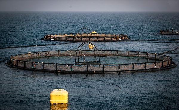 """طرح """"پرورش ماهی در قفس"""" با ۵۸۰ میلیارد ریال سرمایهگذاری در بوشهر اجرا شد"""