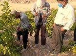آغاز عملیات پیوندپسته در باغات دره شهر  ایلام