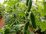 تولید ۲۲ درصد خیارسبز گلخانههای کشور در یزد