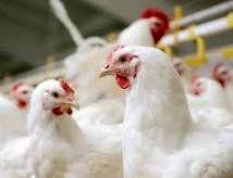 نظارت بر توزیع مرغ در بازار ایلام باید تشدید شود