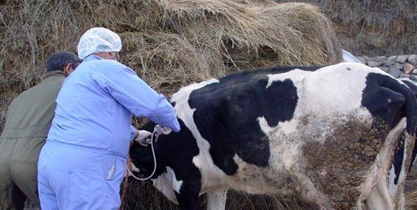 واکسیناسیون رایگان تب برفکی دامهای سنگین در کردستان