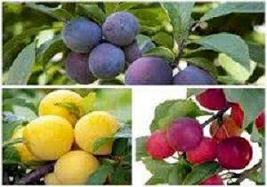 افزایش ۴۰ هزارتنی محصولات باغی در کردستان
