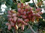 تولید 25 هزارتن پسته خشک در فارس