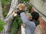 """اجرای طرح """"سرشاخه کاری درختان گردو""""در نایین"""