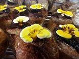 تولید قارچ گانودرما در خرامه