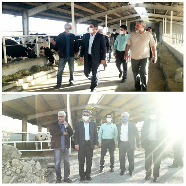 پروژه گاوداری سه هزار راسی در ماهیدشت در حال اجراست