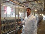 مرغ های بومی فارس، سه برابر بیشتر از قبل تخم می گذارند