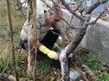 اجرای طرح حفاظت از درختان با استفاده از کائولین در مرودشت