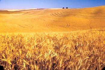 اجرای طرح یاوران تولید با محوریت گندم دیم در استان آذربایجان شرقی
