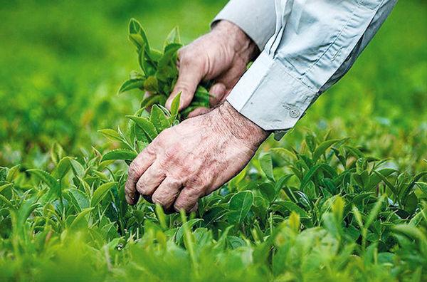 برداشت بیش از 117 هزار تن برگ سبز چای در سال جاری