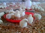 تولید 425 هزار قطعه جوجه یک روزه گوشتی در نقده