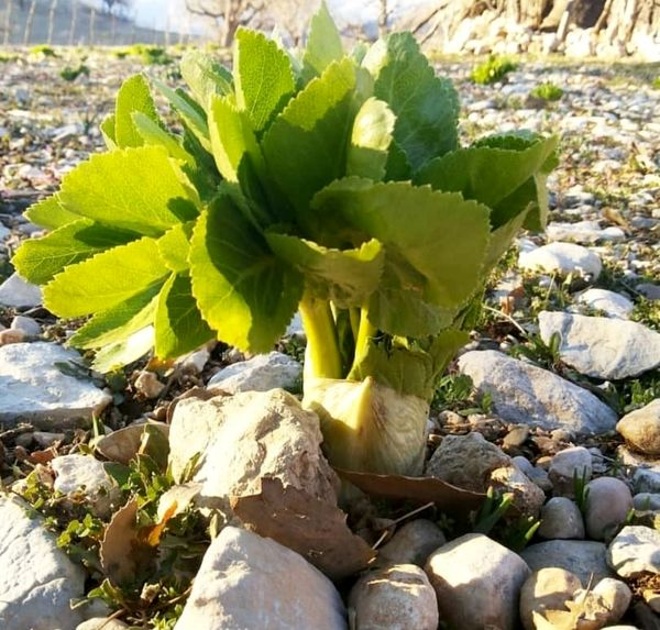 مشارکت جوامع محلی در کشت گیاهان دارویی