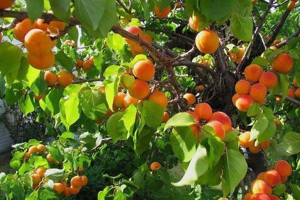 برداشت 20هزار ن محصول از  باغات زردآلو استان