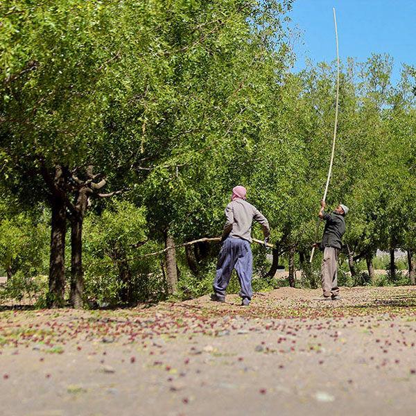 تولید ۹۷ درصد عناب ایران در خراسان جنوبی
