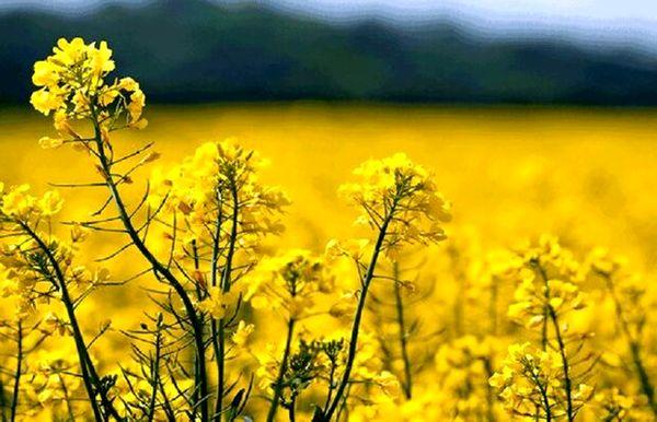 برداشت دانه روغنی کلزا در مهریز ۲۰ درصد کاهش یافت