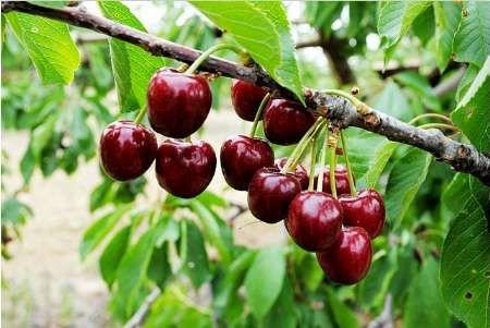 تولید بیش از ۸۰ هزار تن محصولات باغی در شهرستان سامان