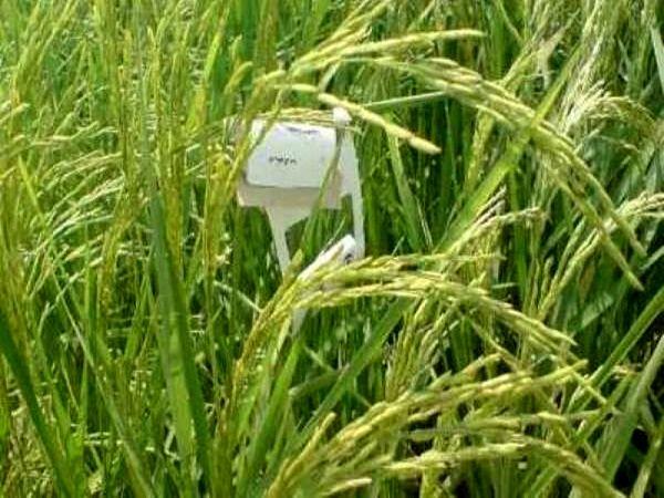 مبارزه بیولوژیک علیه نسل اول ساقه خوار برنج در ماسال