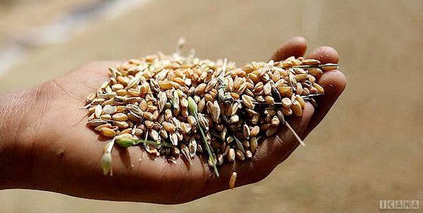 افزایش قیمت خرید تضمینی ۱۱میلیون تن گندم را روانه سیلوهای دولتی میکند