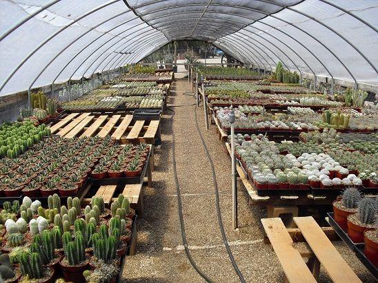 220 هزار گلدان کاکتوس در گلخانه های شهرستان البرز تولید میشود