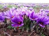 پرداخت کلیه مطالبات زعفران کاران در استان خراسان شمالی