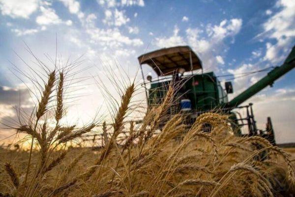 برداشت محصول جو در اراضی استان گیلان آغاز شد