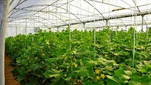 افزایش 10 تا 12 برابری عملکرد محصولات باغی و بهره وری مصرف آب با احداث گلخانه