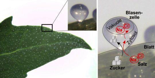 نخستین قدم ها برای کشت گیاه در زمین های شور/ کشت گیاهانی که نمک را تاب می آورند