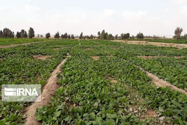 ۷۵ سبزیکار متخلف به دستگاه قضایی کردستان معرفی شدند