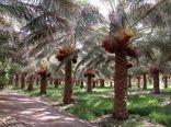 آغاز خرید تضمینی خرمای استعمران پس از ۱۷ سال در خوزستان