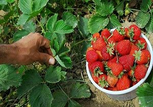 کردستان دارای رتبه برتر تولید توت فرنگی در کشور