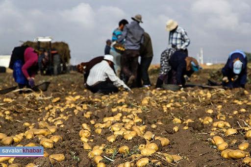 آغاز برداشت سیب زمینی در پارسآباد