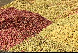 طرح خرید حمایتی انواع سیب درختی با مصارف صنعتی آغاز شد