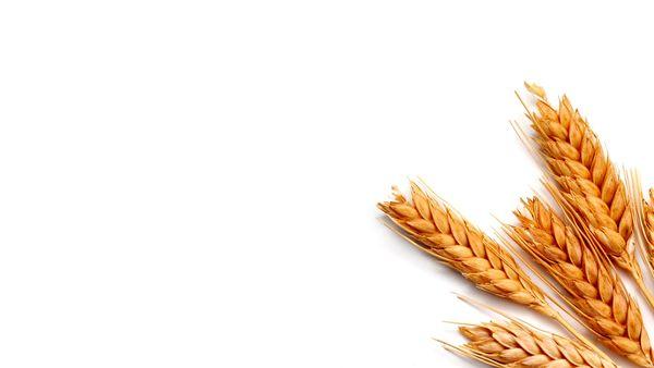 تاکید جدی سازمان حفظ نباتات بر ضد عفونی کردن بذرهای خود مصرفی  گندم پیش از کشت