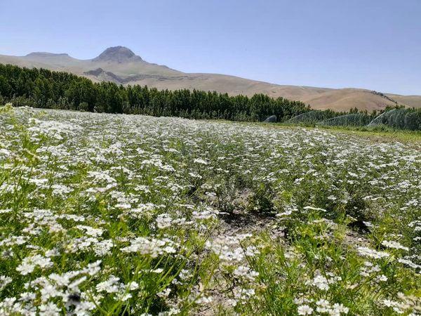 سالانه ۶هزار تن گشنیز در استان کرمانشاه تولید می شود