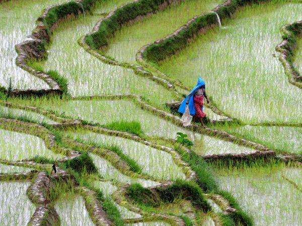 آلودگی دیاکسید کربن عامل کاهش ارزش غذایی برنج