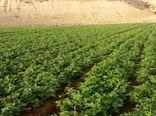 افزایش 75 درصدی سطح  زیر کشت لوبیا در شهرستان کوهرنگ