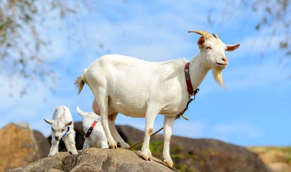 تولید سالانه 700 هزار تن شیر بز تا پایان برنامه ششم/ تسهیل سرمایهگذاری در پرورش بز