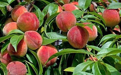 باغهای سپیدان تا اواسط مرداد ماه میزبان میوهها