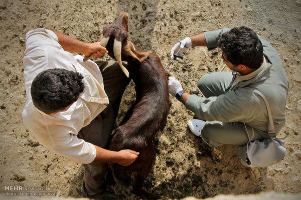 واکسیناسیون بیش از 173 هزار نوبت سر دام سبک در استان خوزستان