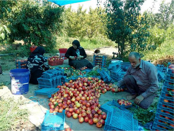تولید 15 هزار تنی هلو و شلیل در بهشهر