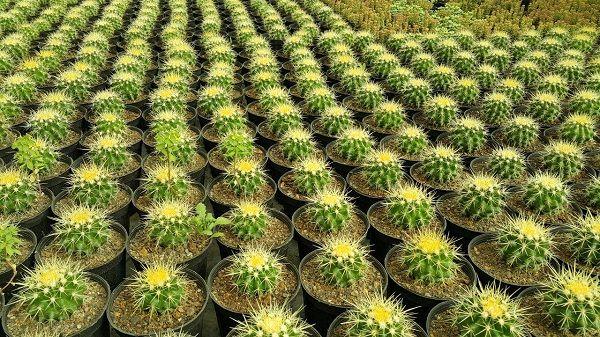 کاکتوسهای مقاوم در گلخانهها تنها نیستند/ کاکتوسها در گلخانههای همدان جاگیر میشوند