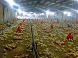 50 هزار قطعه جوجه ریزی برای تأمین مرغ شب عید در گچساران