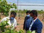 برآورد خسارت سرمازدگی باغهای انگور تاکستان انجام شد