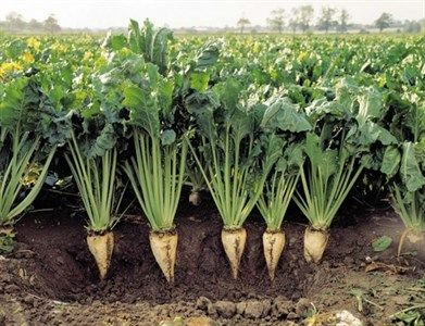 خرید 120 هزار تن چغندرقند از کشاورزان آذربایجان غربی