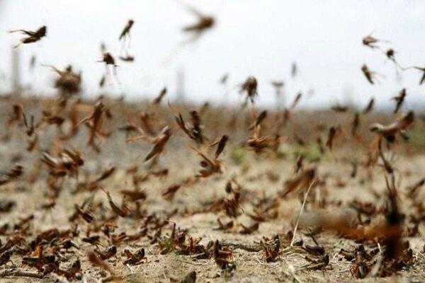 چالشها و راهکارهای پیشگیری و مبارزه با آفت ملخ های صحرایی