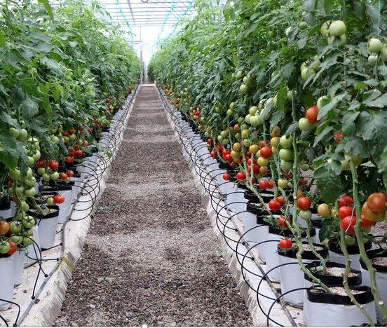 ارتقای ۶ پلهای خراسان شمالی در کشتهای گلخانهای