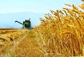 رتبه برتر مازندران در کیفیت گندم کشور/ تامین 110 تن بذر کلزا