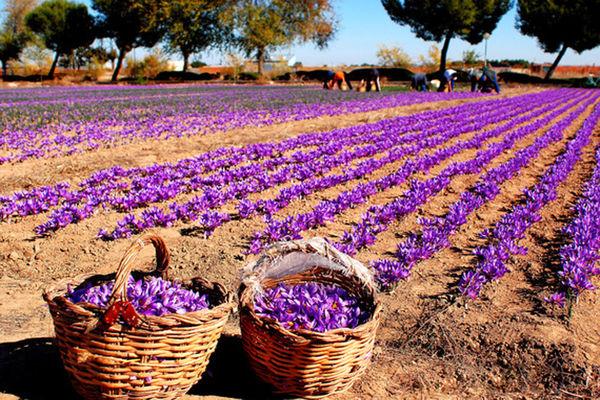 مخترع ایرانی دستگاه برداشت گل زعفران ساخت