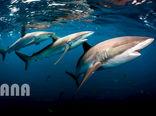کوسههای ابریشمی در دریای کارائیب