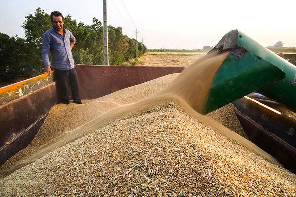 پایداری در تولید گندم با تکنولوژیهای بومی